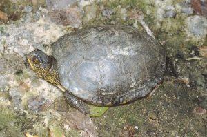 Черепаха болотная